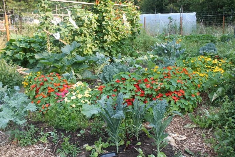 Beautiful Vegetable Garden with Companion Planting