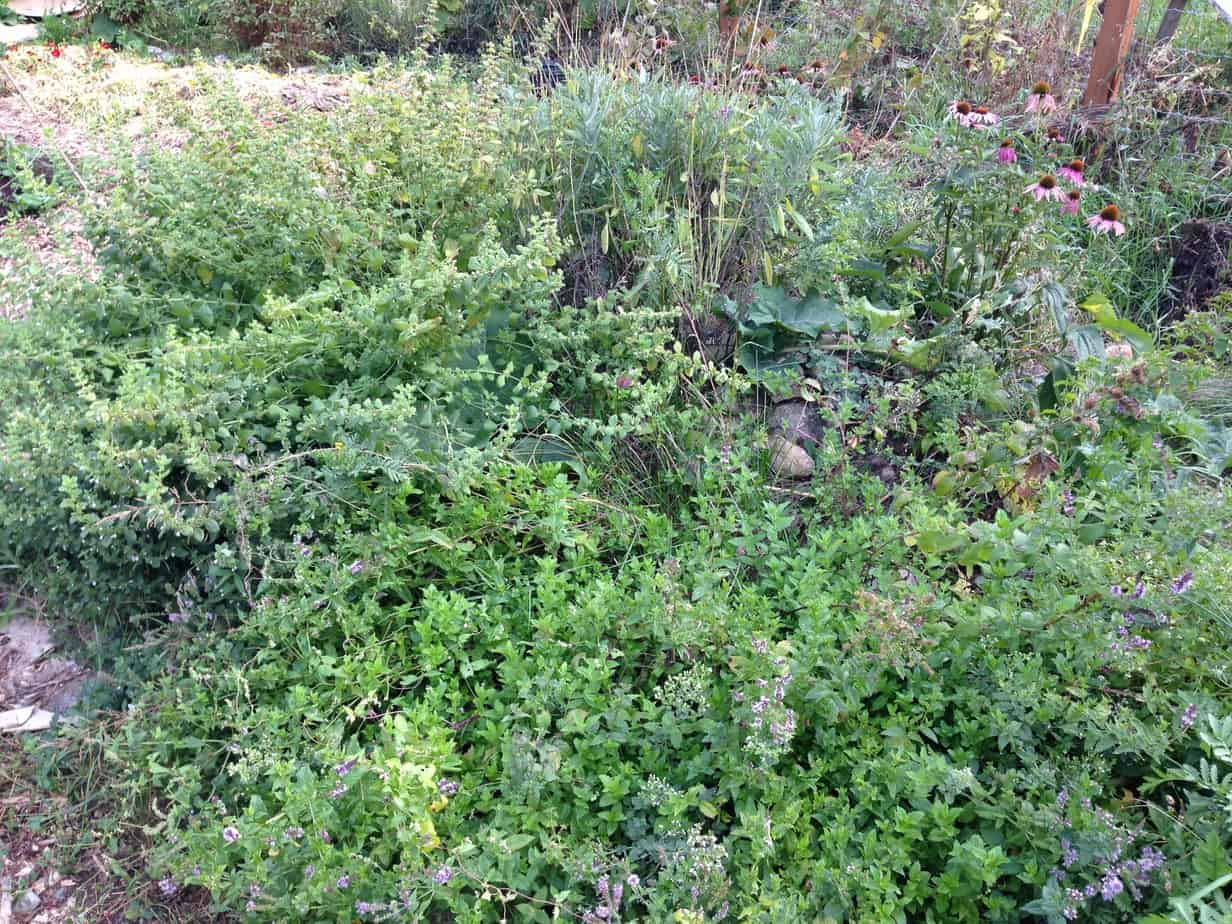 Herbs for the Medicinal Herb Spiral Garden